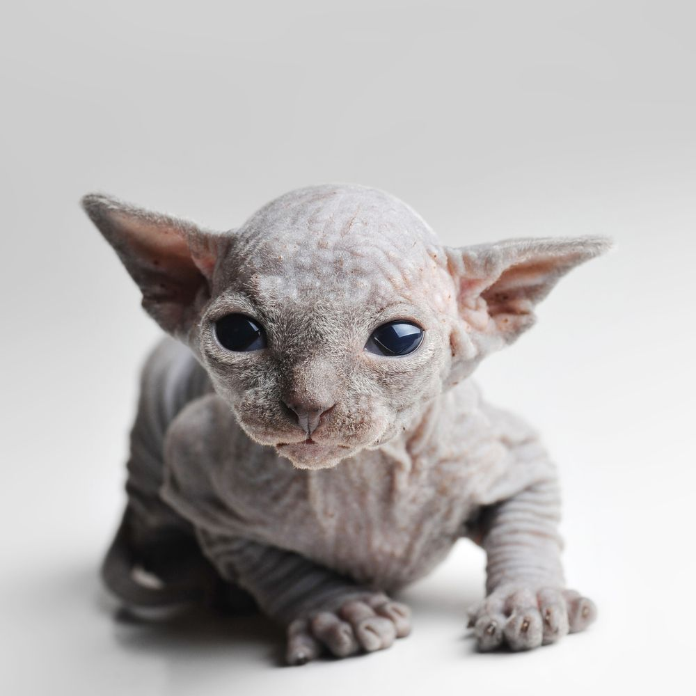 Underdogs Of The Animal World Sphynx Cat Sphynx Cat Devon Rex Cats Rex Cat
