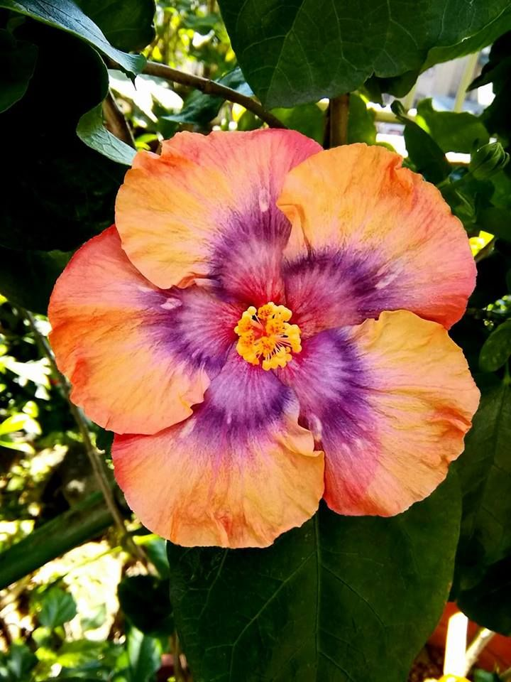Pin By Sidonie Thomas On Hibiscus Love