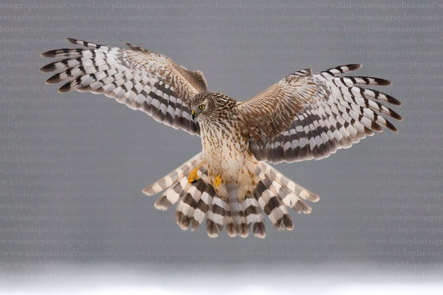 Hen Harrier(Circus cyaneus)