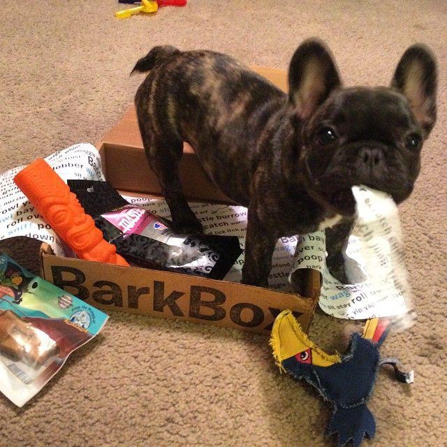 #BarkBox is the best! @barkbox So much stuff, I didn't know where to start, so i eated da paper! @frenchbulldogs THANK YOU! #househipposhomey #ShermanRocks #happyfrenchie #RoxytheBrindleBabe ❤️