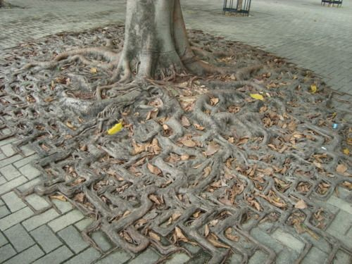 a tree's root system merges with a brick walkway  画