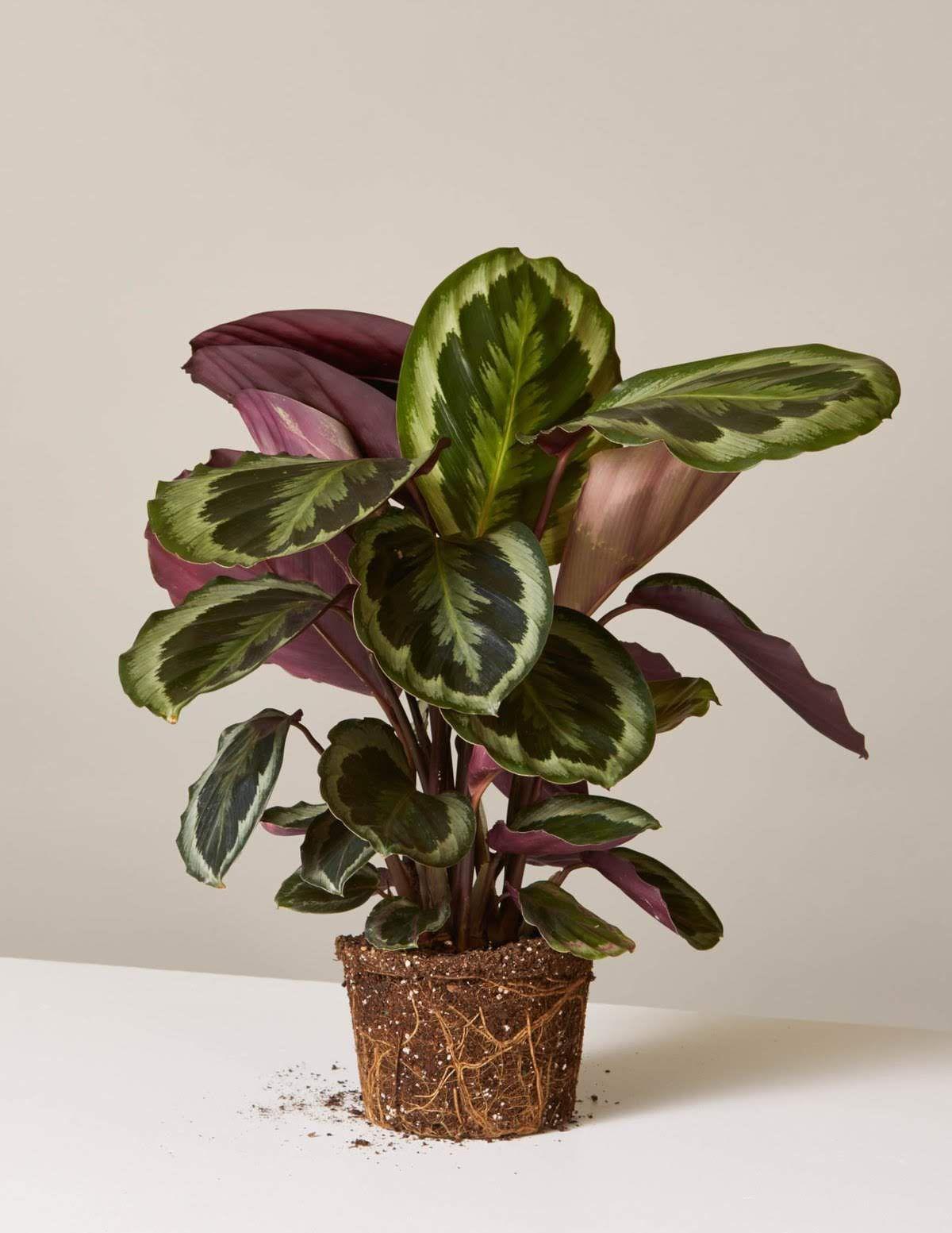 Top Plants For Kids And Pets Calathea Plant Plants Low Light Plants