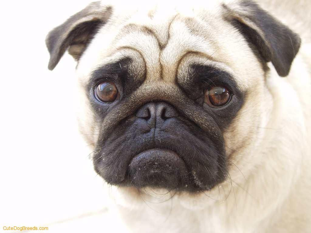 Dog Download Small Dogs Picture Pug Dog Pugs