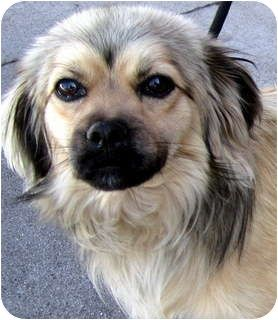 Adopt me! CHOWDER is adoptable male Tibetan Spaniel