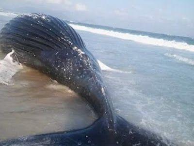 JORNAL O RESUMO: Baleia aparece morta em Arraial do Cabo