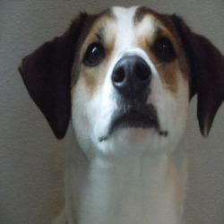 Adopt Cooper On With Images Puppy Adoption Cute Animal Pictures Hound Dog