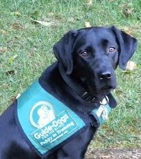 Maybelle Guide Dogs For The Blind Puppy Black Labrador Guide