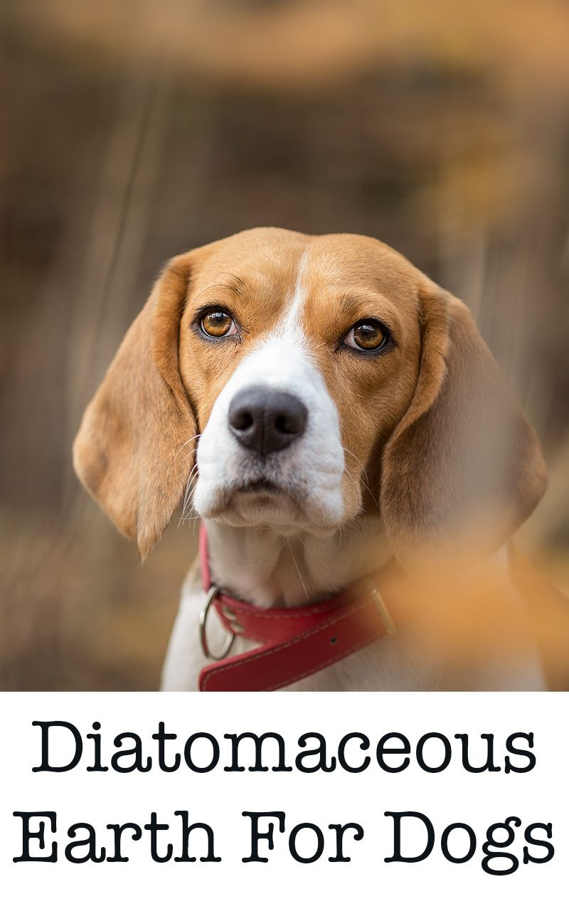 Diatomaceous Earth For Dogs; Is It A Safe Remedy For Fleas