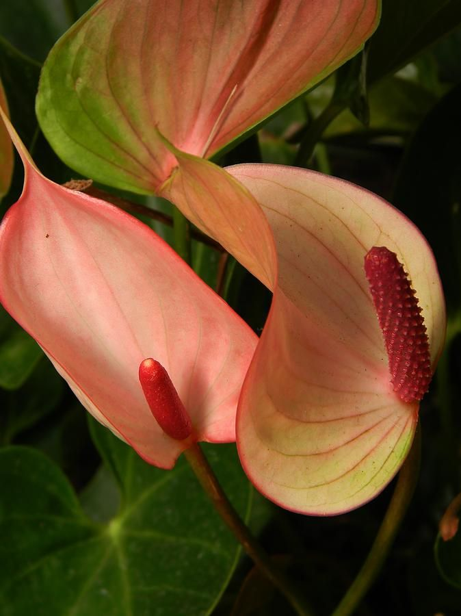Pin By Ana On Anthirium In 2020 Anthurium Flower Beautiful Flowers Parts Of A Flower