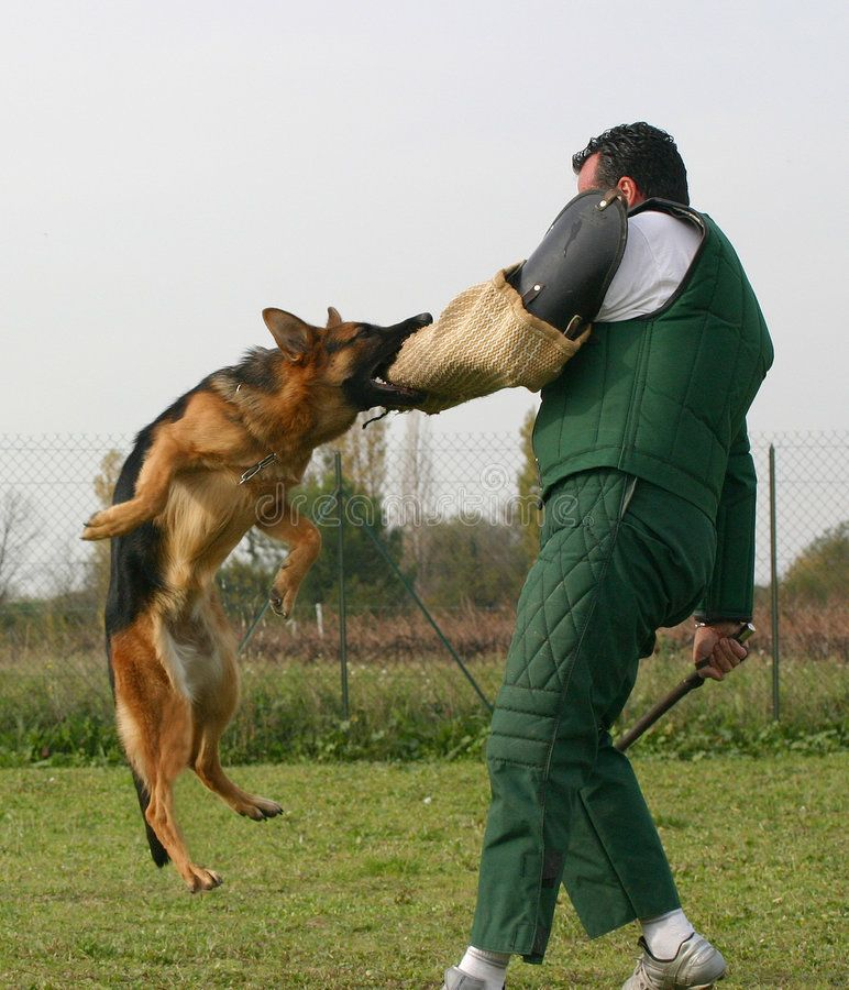 Trainer And His Dog Military Dog Being Trained Attack Command