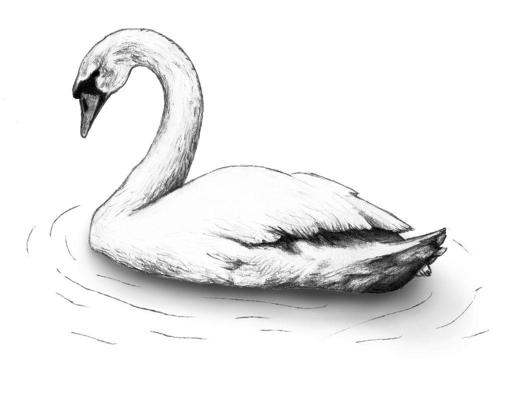 Image Result For Swan Drawing Sketch Swan In 2019 Swan Drawing