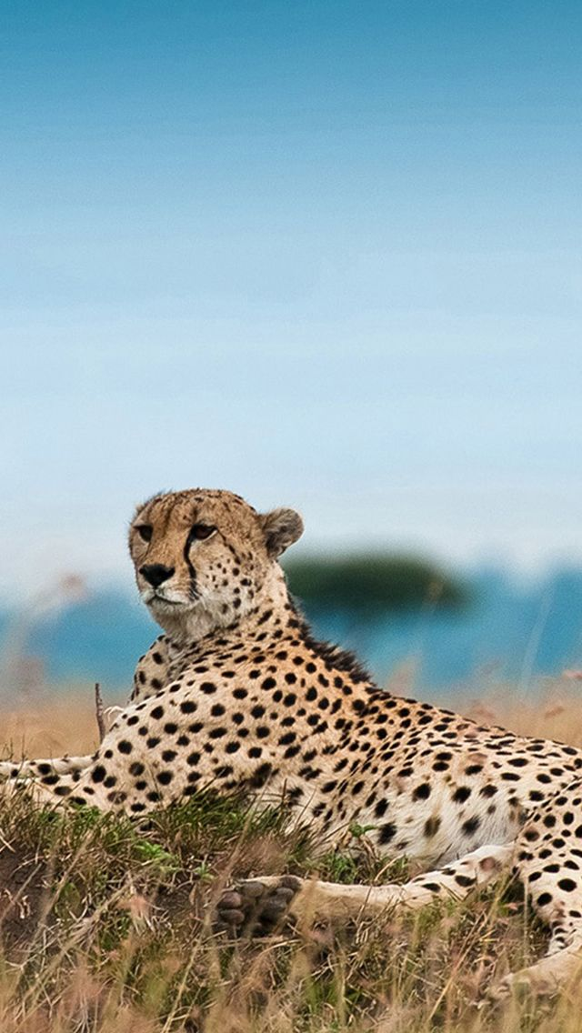 South Africa Leopard Iphone 5s Wallpaper Animales