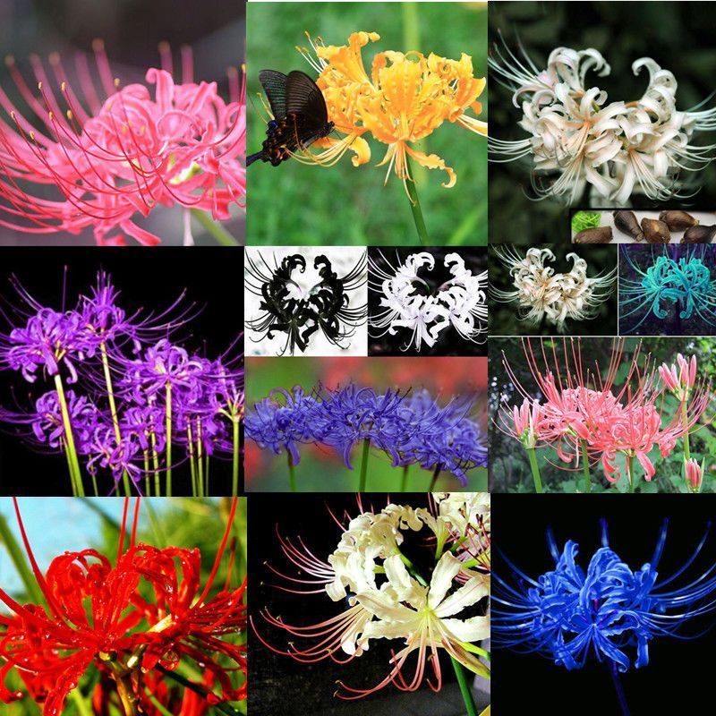 5x Bulbs Blue Lycoris Radiata  Spider lily Flower Garden Lycoris Bulbs  Decor~