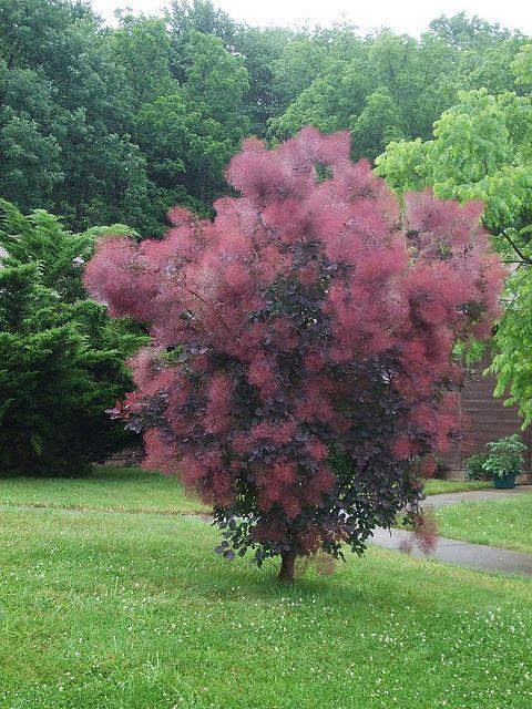 A Purple Smoke Tree A Favorite Of Ours Smoke Tree Smoke Bush Purple Shrubs