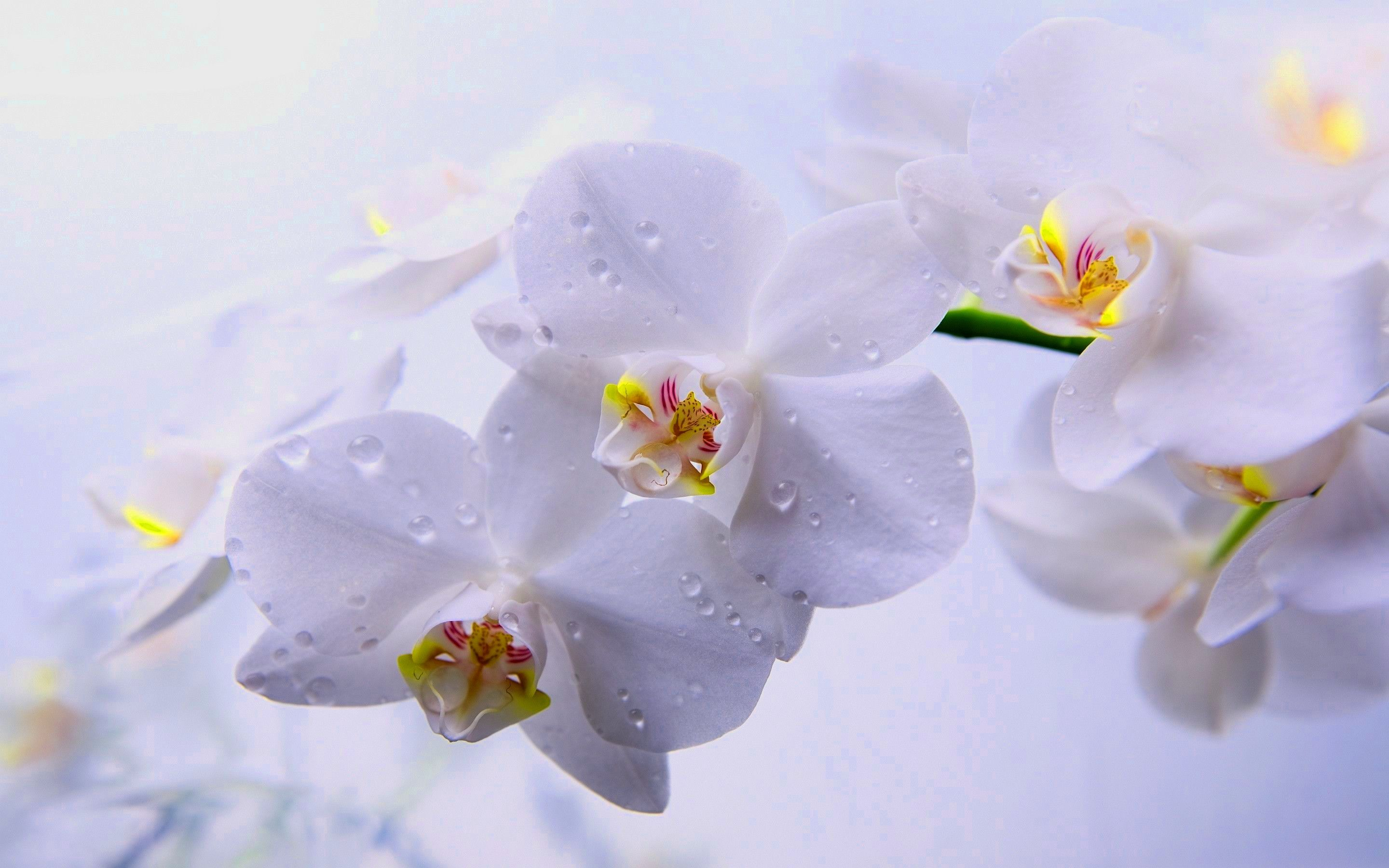 orchids wallpapers best - photo #48
