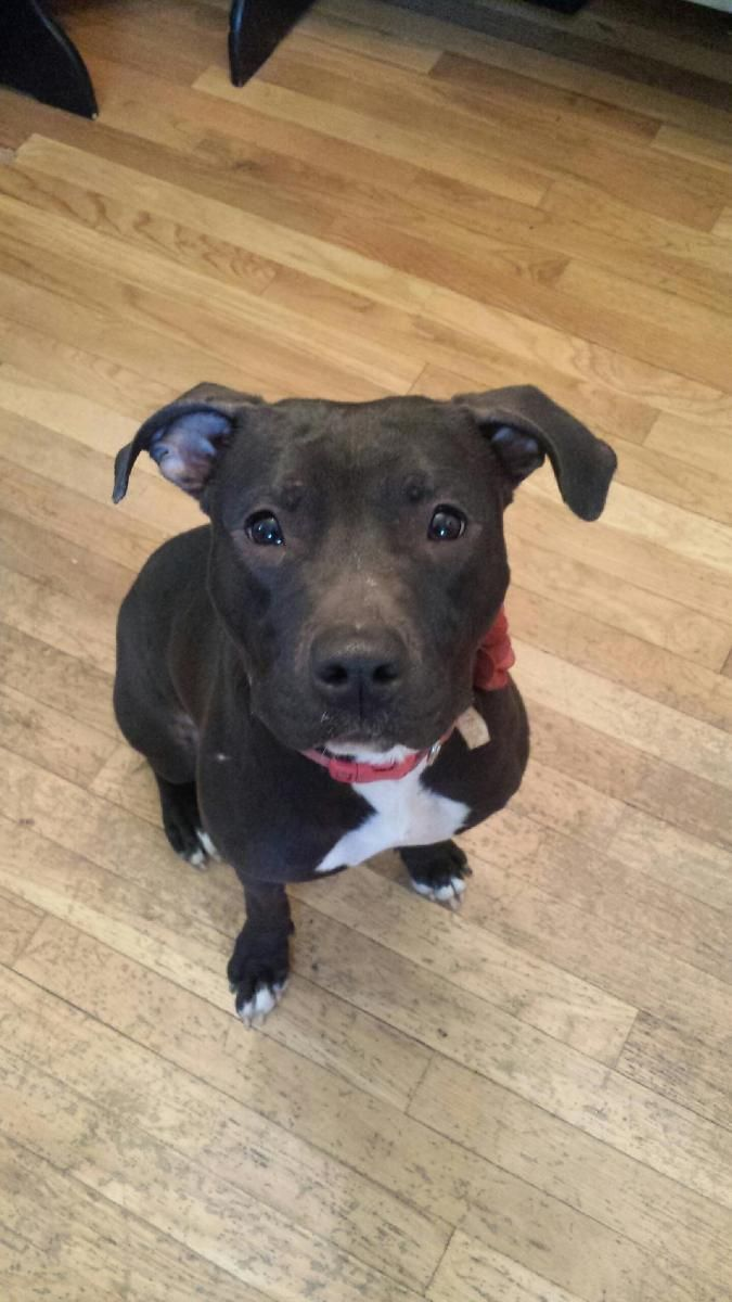 I found Maddie on Bull terrier dog, Pit bull terriers