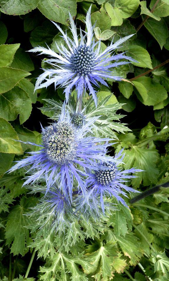 Panicaut  Eryngium alpinum  'Bleu Star'
