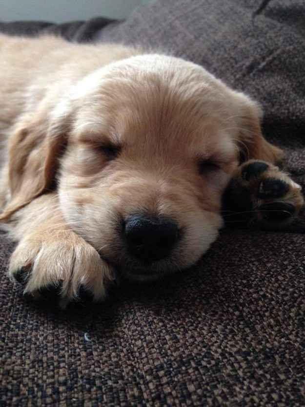 hund napper
