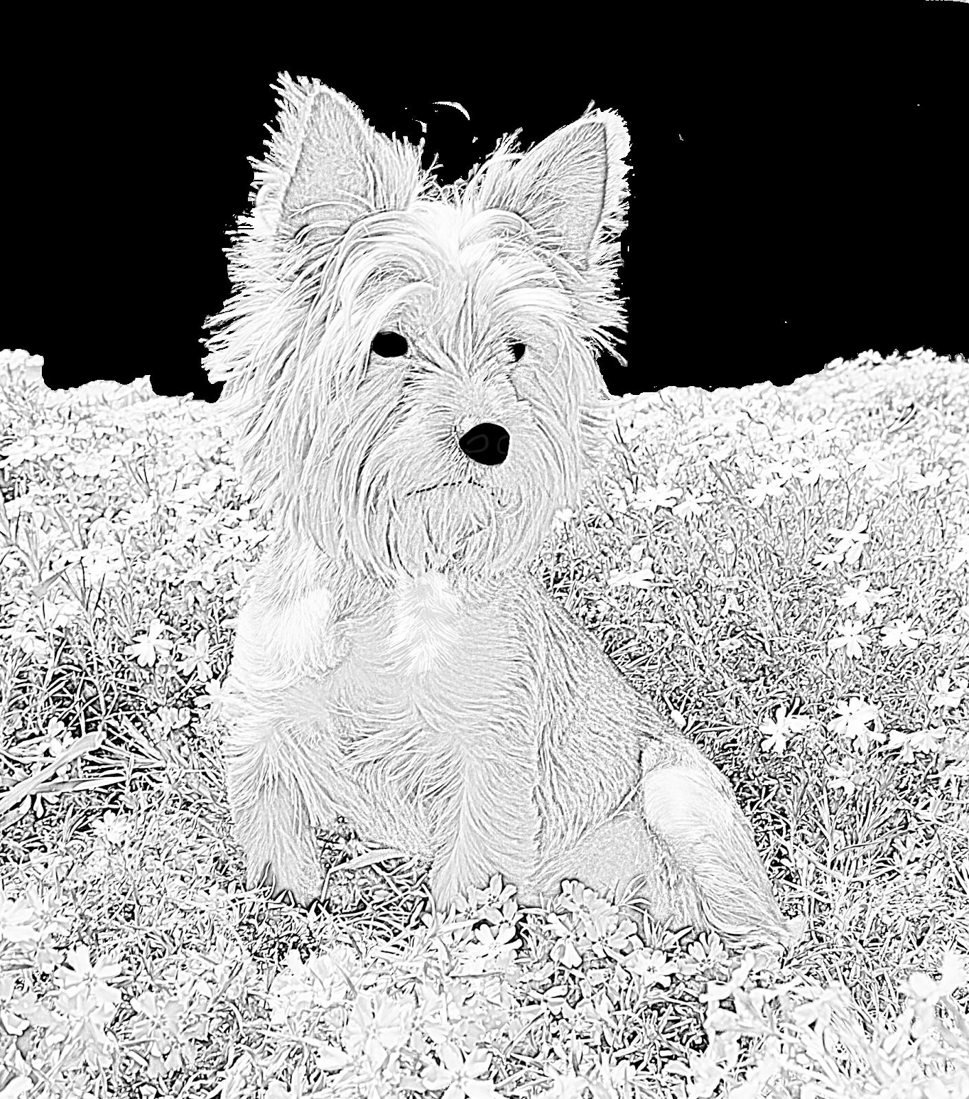 Scottie dog coloring for adults kleuren voor volwassenen for Westie coloring pages