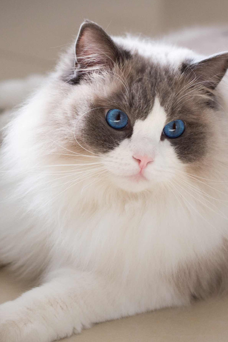 What S A Ragdoll Cats Average Lifespan Ragdoll Ragdollcats Ragdollfacts Ragdollcare Ragdollbrown Ragdollcute Cats Cute Cats Ragdoll Cat Ragdoll