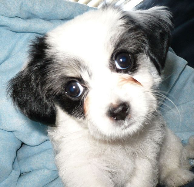 I Love You Poodle Maltese Chihuahua Mix Malchipoo Chihuahua Mix Mans Best Friend Dog Cat