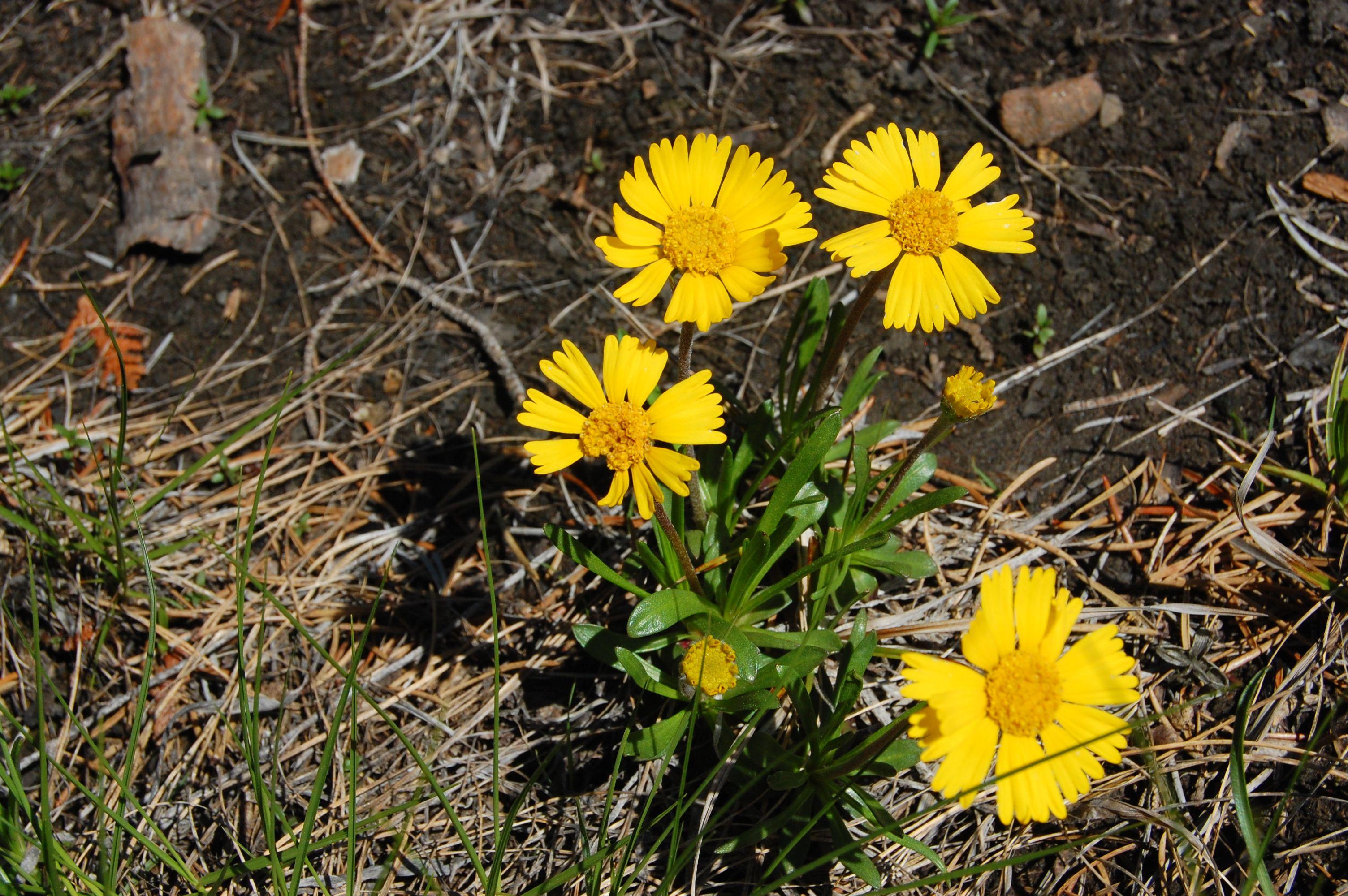 Lakeside daisy tetraneuris herbacea saro threatened on