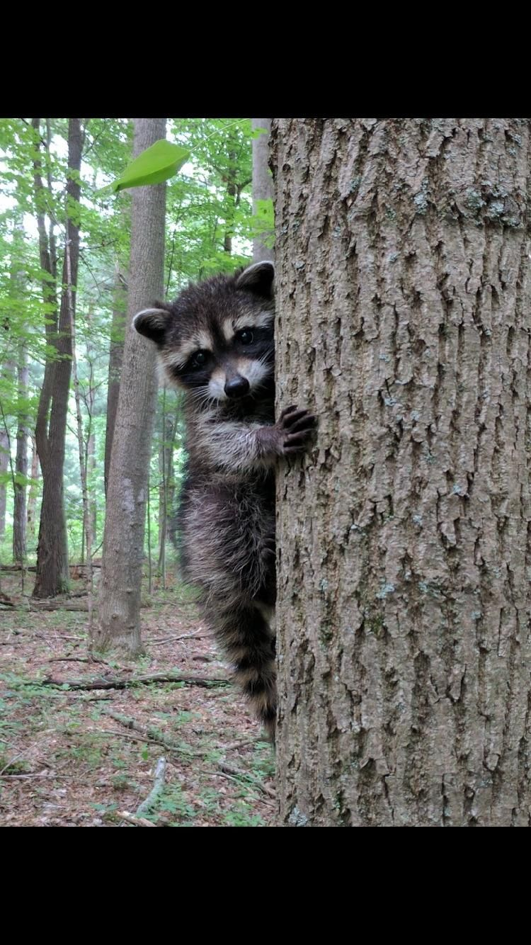 This baby raccoon. http//ift.tt/2tA91my Baby raccoon