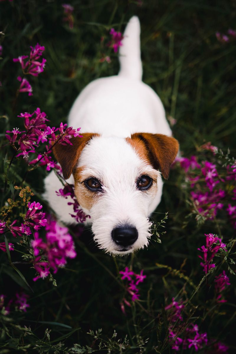Pretty Puppy In A Field Of Flowers White Jack Russel Terrier Doggo With Pink Flowers Dog Photograph Jack Russell Terrier Puppies Dog Photography Jack Russell