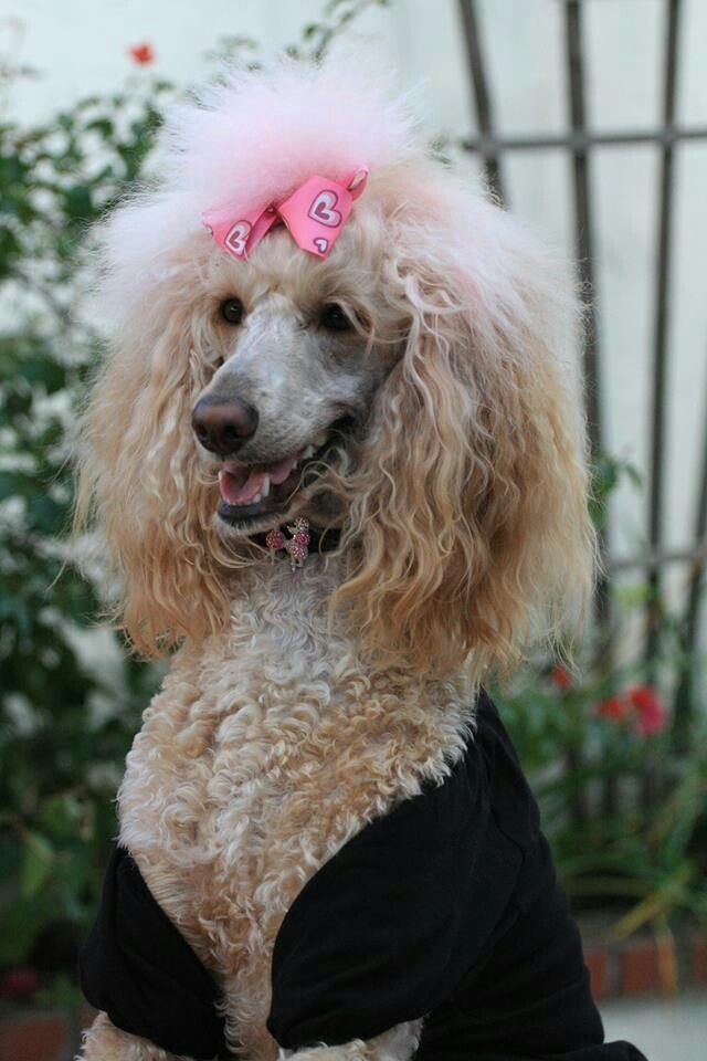 Lulu This Is One Fancy And Adorable Poodle Poodle Dog Dog