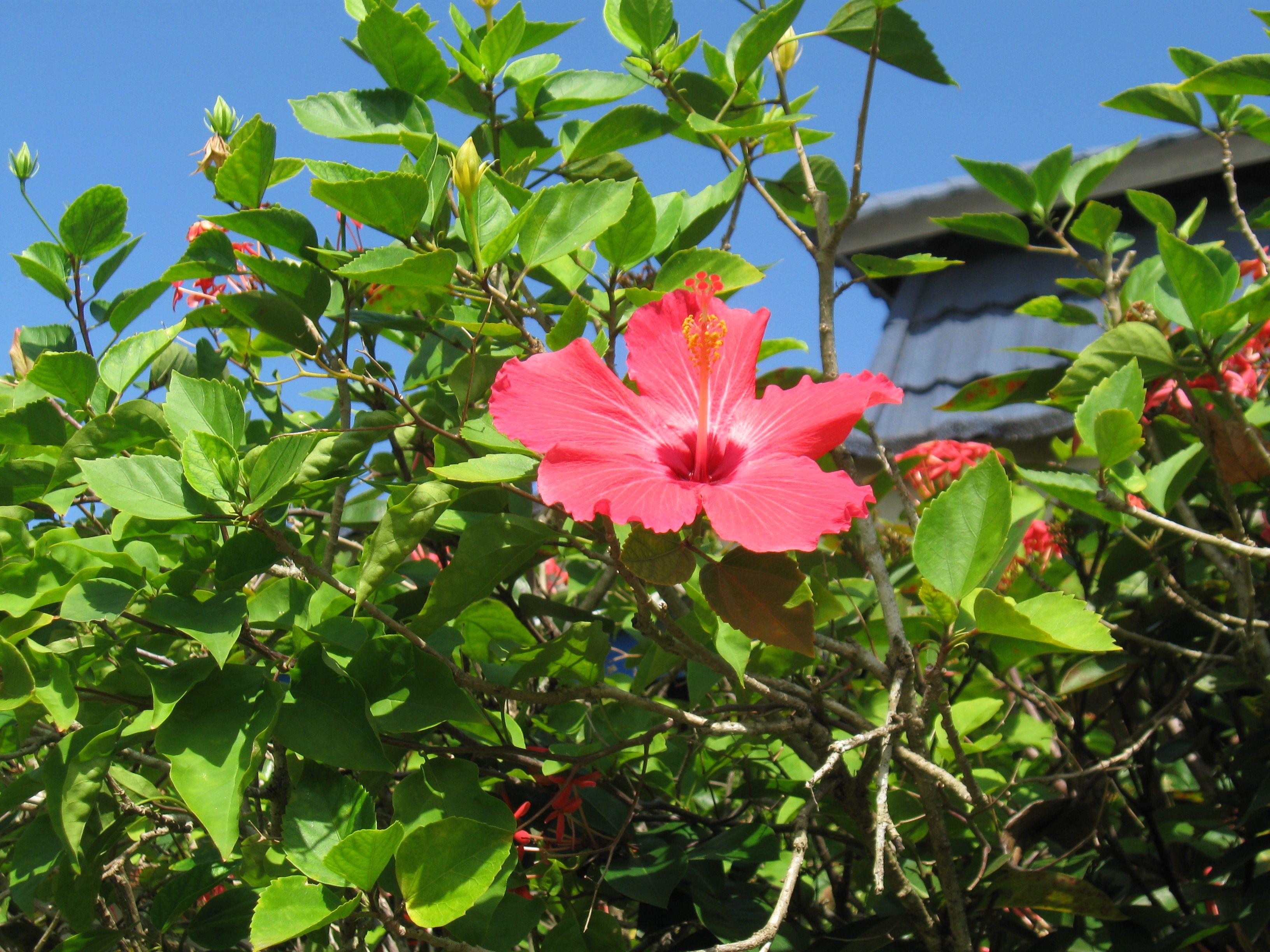Hibiscus jamaica my favourite place pinterest hibiscus hibiscus izmirmasajfo