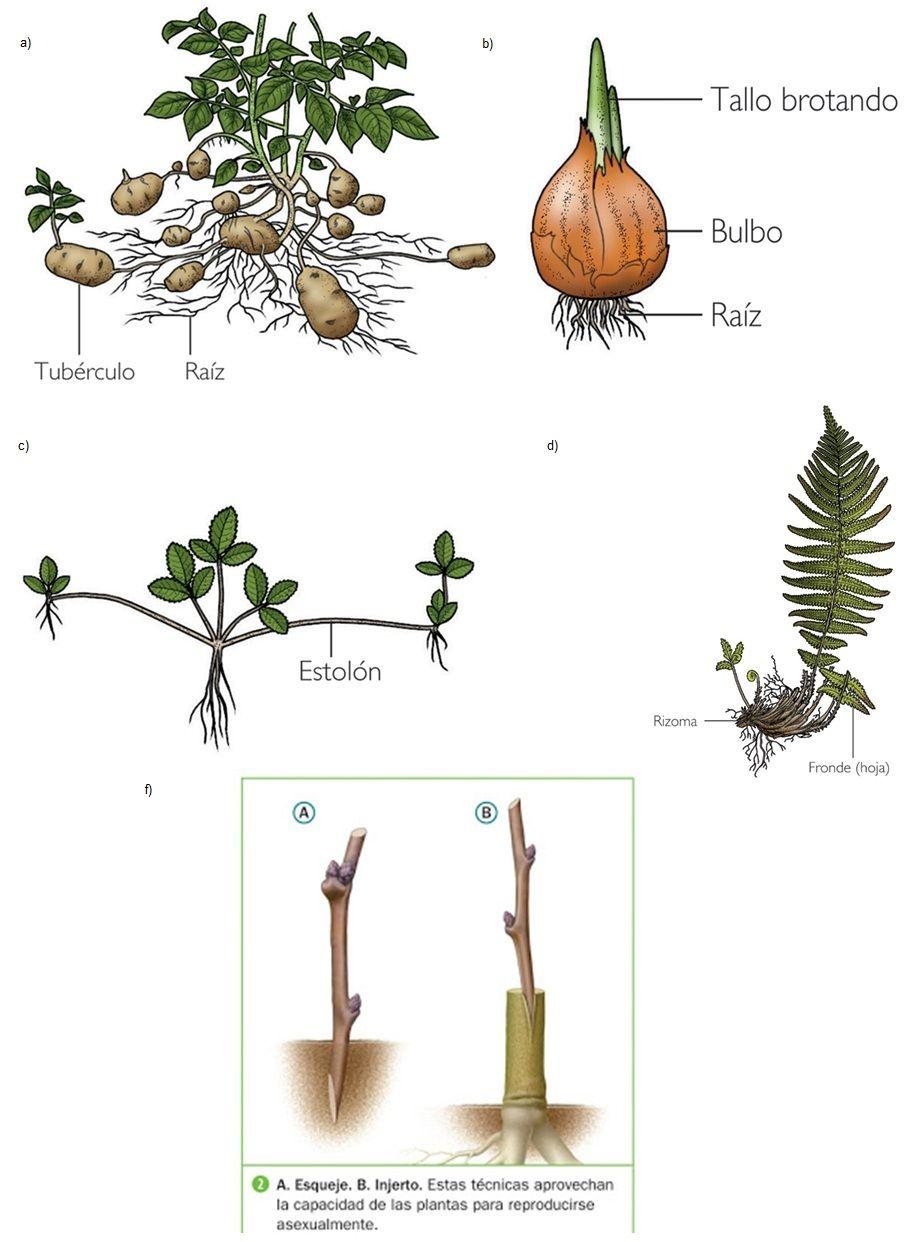 Rizomas reproduccion asexual plantas de sombra