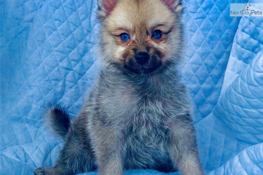 Wolfie Pomsky Puppy For Sale Near Dallas Fort Worth Texas 5ec7891f Ecb1 Pomsky Puppies Pomsky Pomsky Puppies For Sale