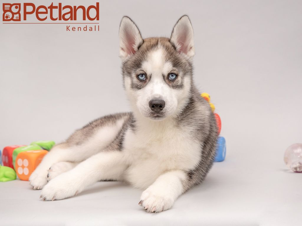 Petland Florida Has Siberian Husky Puppies For Sale Check Out All