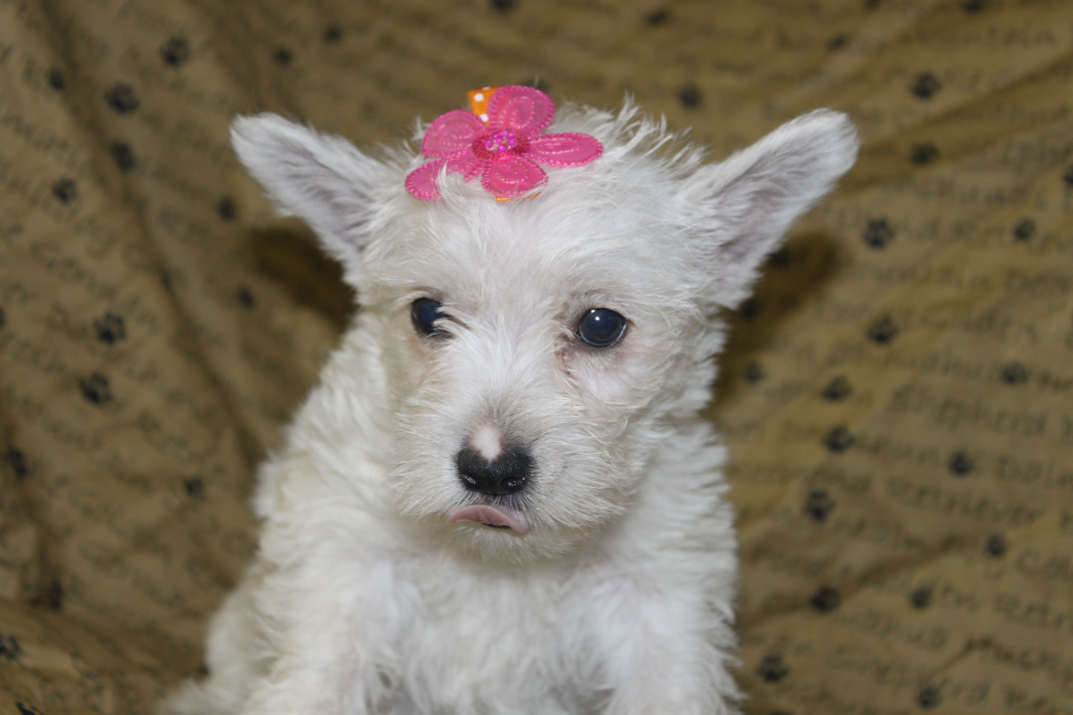West highland white terrier puppies for sale in
