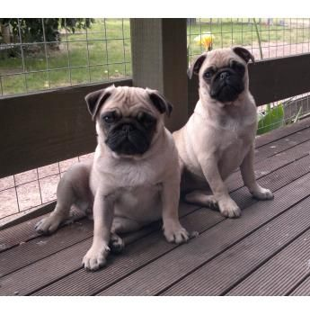 Benassy Pugs Glenburn Victoria Pugs Pug Breeders Pedigree Dog