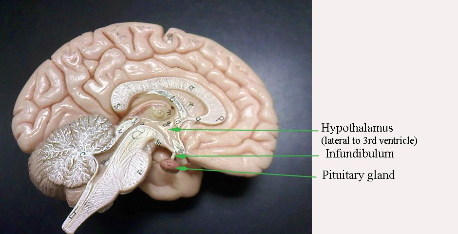 Hypothalamus Lateral To Third Ventricle Infunfibulum Pituitary Gland