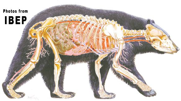Bear muscle anatomy
