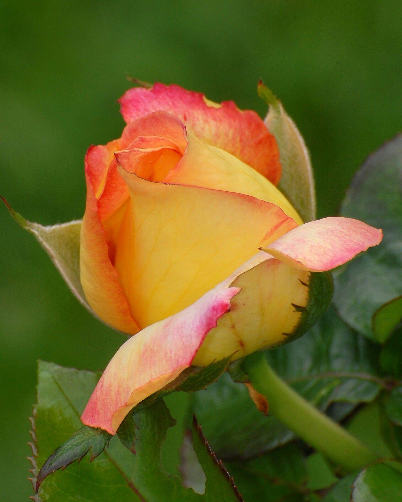 желто розовые розы фото одиночества дает спать