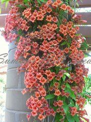 Sun or shade here, drought tolerant once established. Called Tangerine Beauty Crossvine.