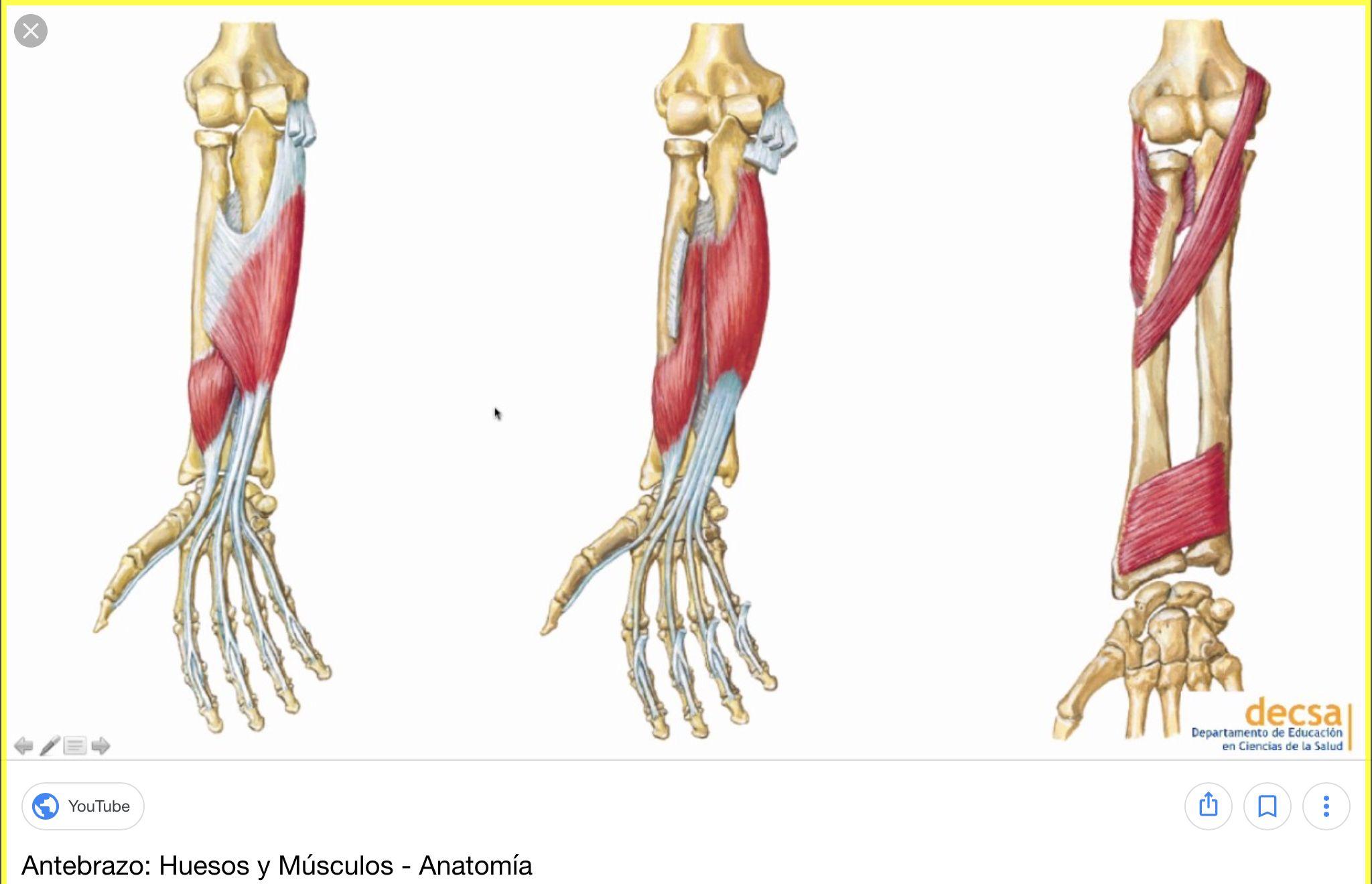 anatomia de miembro superior - Buscar con Google | Anatomia ...