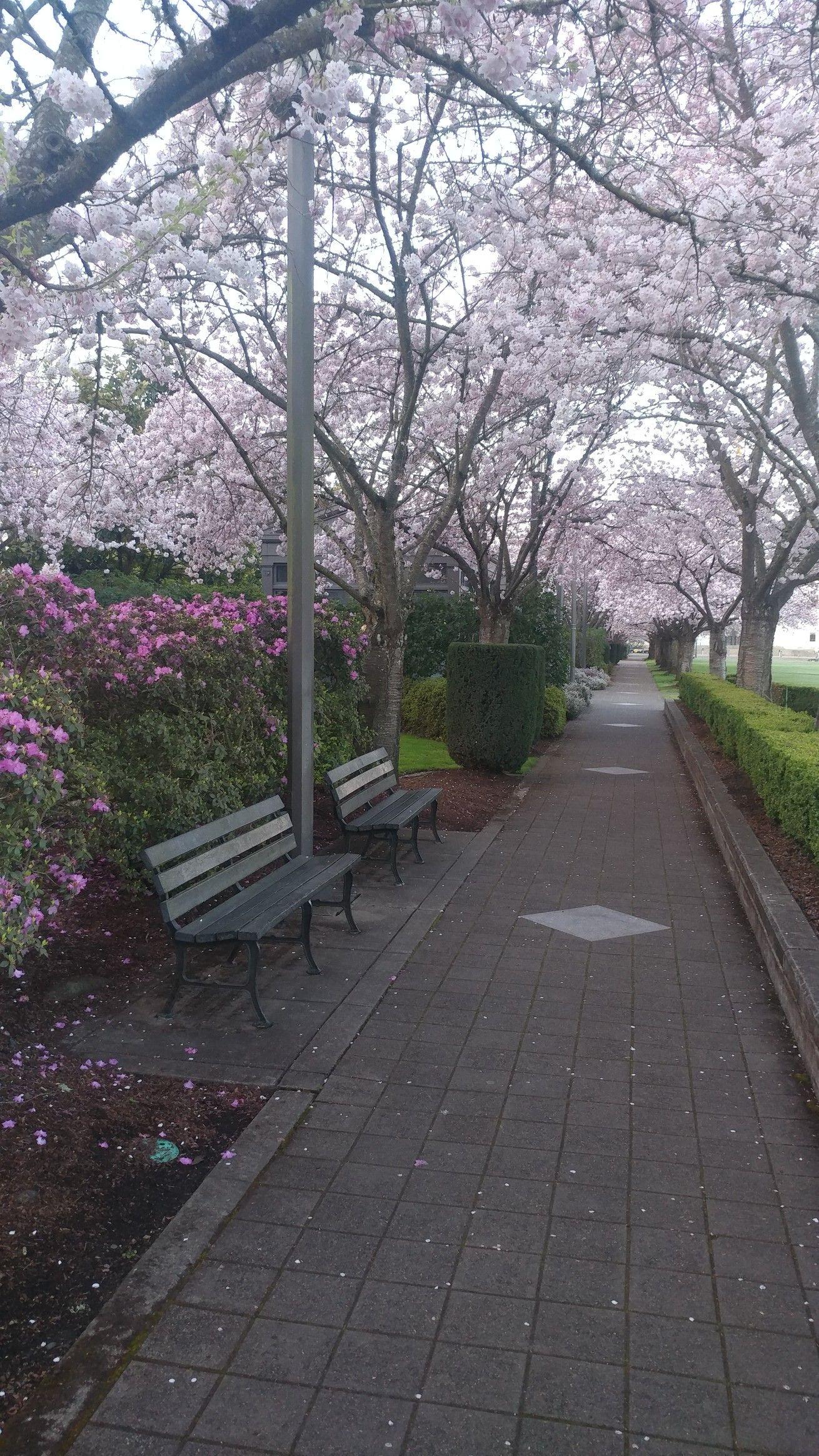 Photography Of Salem Oregon S Capital Mall And It S Grove Of Cherry Trees Cherry Tree Salem Oregon Salem