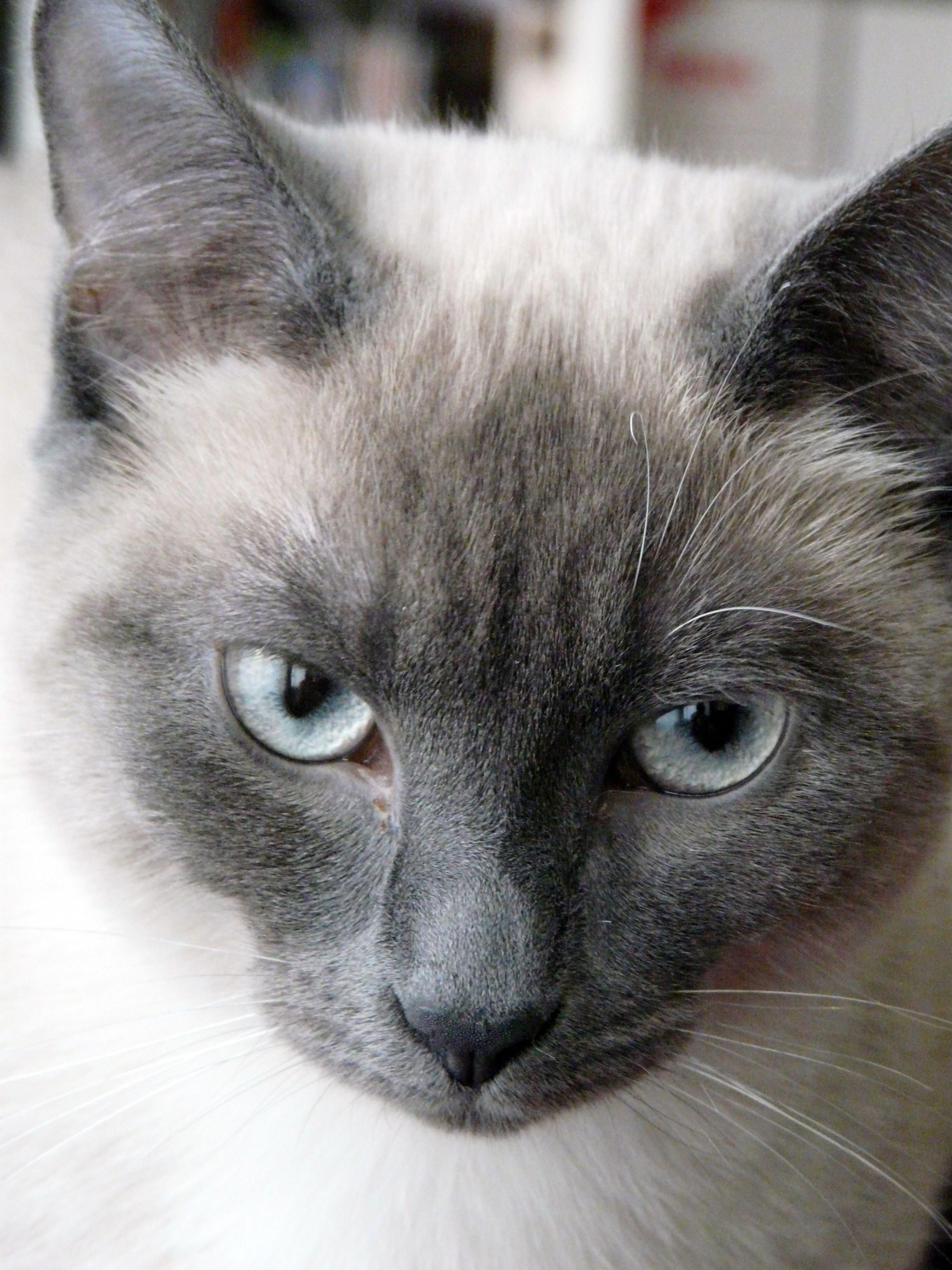 Siamese Cat Lea My Blue Siamese Point Siamese Cats Blue Point Siamese Cats Cats