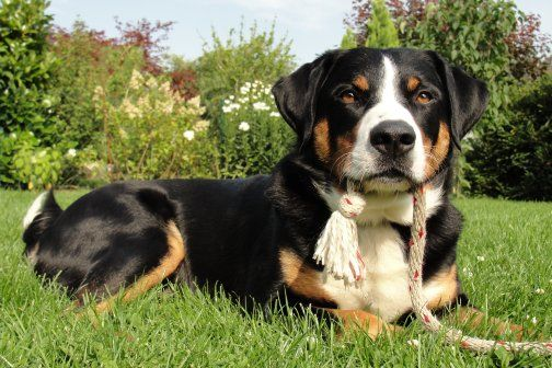 Appenzeller Puppies Dogs Animals