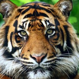 Tygrys Sumatrzański Panthera Tigris Sumatrae Zwierzęta