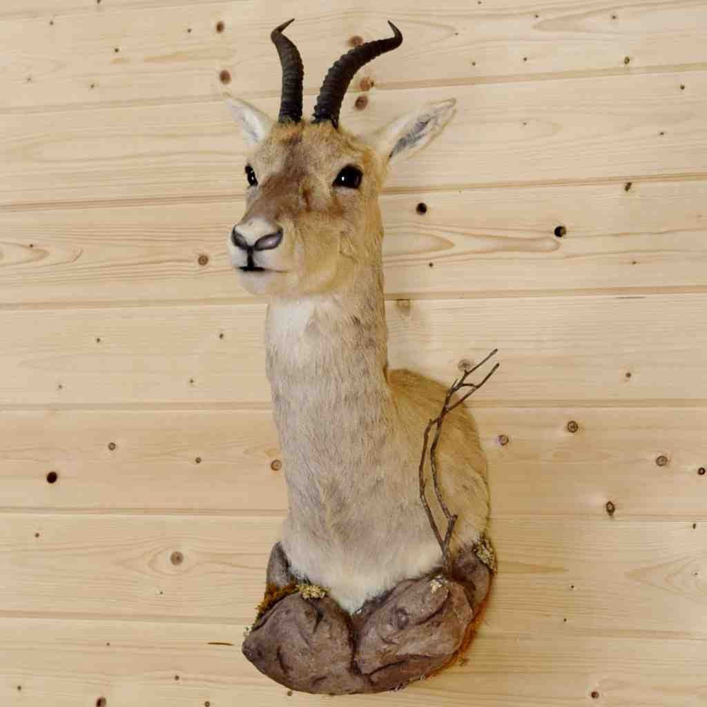 Goa Gazelle Taxidermy Mount for Sale - SW8960 | Exotic