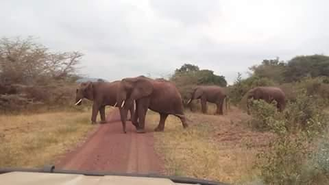 Elephants on the road, Tanzania