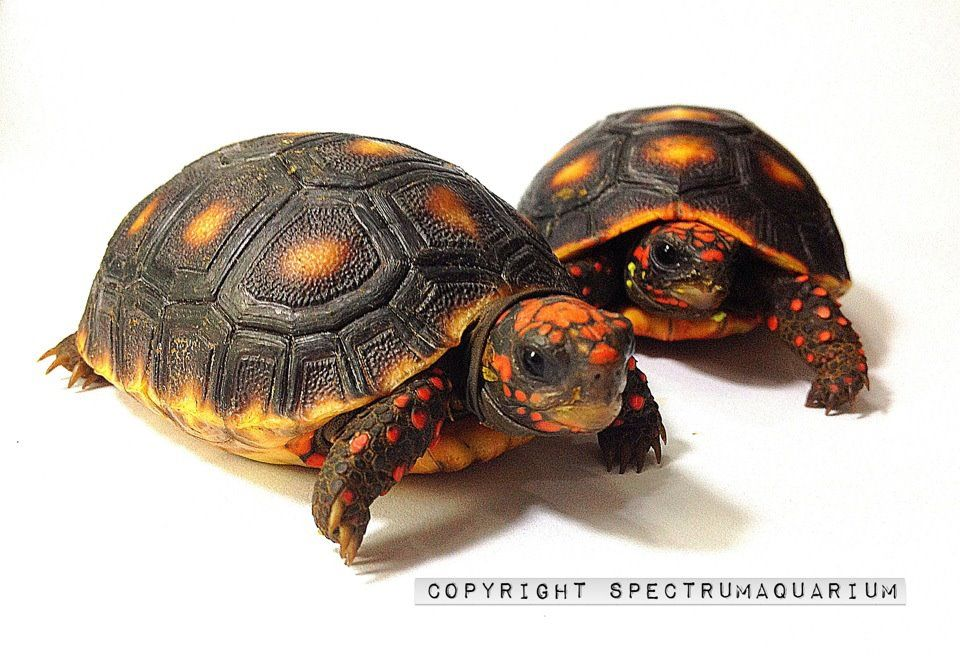 Cherry Head Redfoot Tortoise Turtles Tortoise