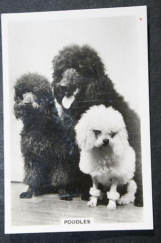 Poodle 1930 S Original Vintage Photo Card Ebay Poodle Vintage