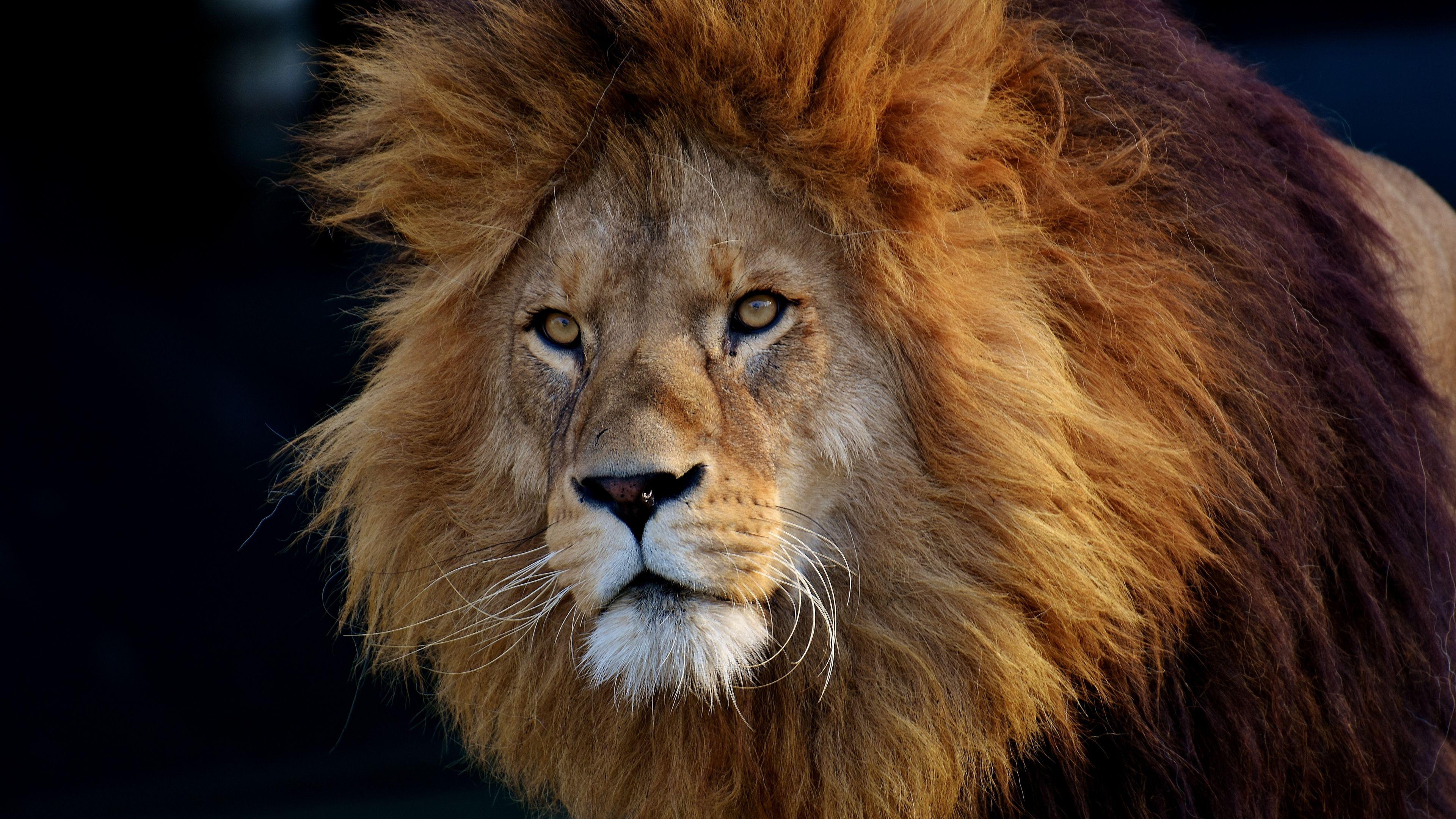 Download Cool Lion Photos Hd With Images Lions Photos Lion