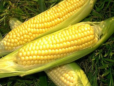 How Can You Tell When Sweetcorn Is Ready To Harvest The Garden Of Eaden Growing Sweet Corn Sweet Corn Corn Seed